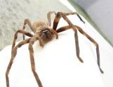 Sparassidae_Palystes_castaneus_mature_female_9923s